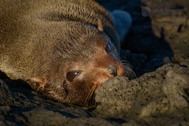 fur seal, fur seal photos, galapagos islands, galapagos islands wildlife, seals in the galapagos, galapagos photos, galapagos fur seal, galapagos fur seal photos