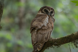 wood owl, wood owl photos, India birding, birding in India, Kumaon, Uttarakhand, owls in Asia, owls in India