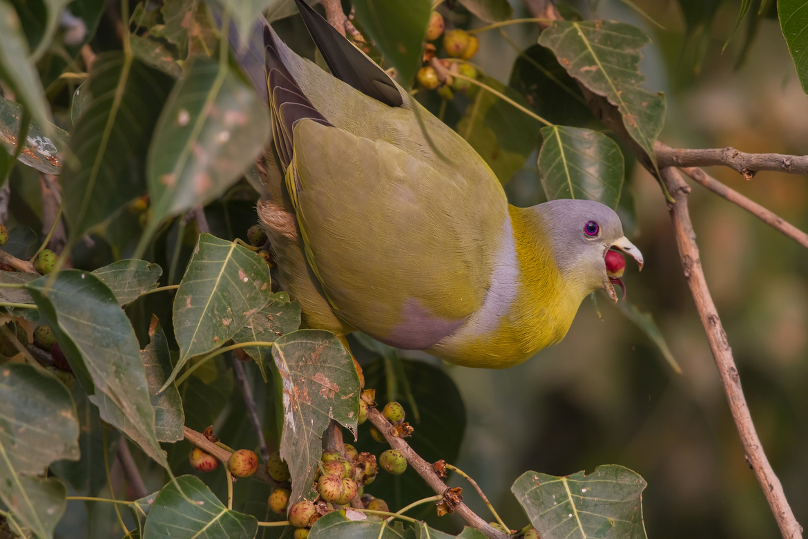 yellow-footed green pigeon, yellow-footed green pigeon photos, yellow-footed green pigeon in India, India wildlife, India birding, birds in India, birding in India, Rajasthan, Rajasthan wildlife