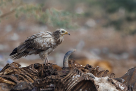 Egyptian vulture, Egyptian vulture photos, birding in India, Egyptian vulture in India, Jorbeed wildlife, Rajasthan wildlife, India birds