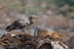 Egyptian vulture, Egyptian vulture photos, birding in India, Egyptian vulture in India, Jorbeed wildlife, Rajasthan wildlife, India birds