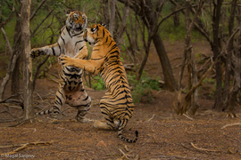 tiger photos, bengal tiger photos, tiger, bengal tiger, Ranthambore National Park, Ranthambore National Park wildlife, Ranthambore National Park wildlife photos, india wildlife, india wildlife photos, tigers fighting