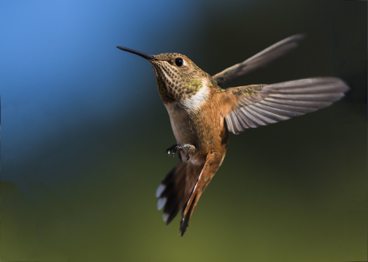 hummingbird, humming bird images, humming bird photos, united states wildlife, united states birds, american hummingbirds, Nevada birds, Nevada wildlife, rufous hummingbird, rufous hummingbird photos