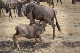 wildebeest, wildebeest photos, wildebeest migration, Tanzania migration, Tanzania wildlife, Africa migration, Ngorongoro Crater, Ngorongoro wildlife