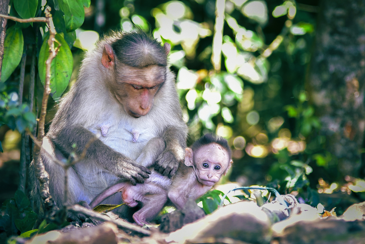 macaque, macaque images, macaque photos, India wildlife, India wildlife images, India wildlife photos, Ooty, Ooty wildlife, macaques in India, India wildlife photography, bonnet macaque, bonnet macaque photos, baby macaque, baby bonnet macaque
