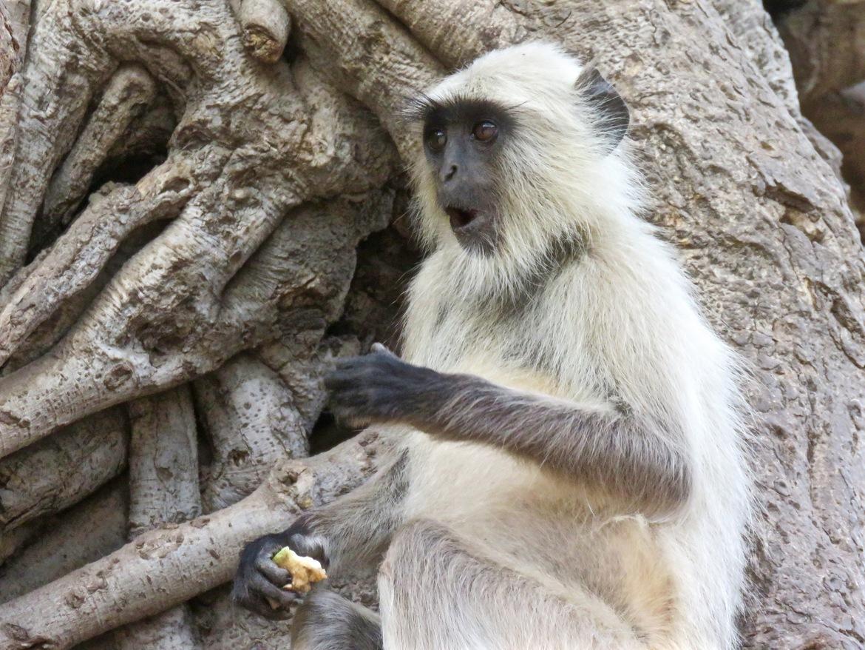 langur monkey, langur monkey photos, langur monkeys in India, India wildlife, India monkeys, Ranthambore National Park, Ranthambore National Park photos, Ranthambore National Park monkeys