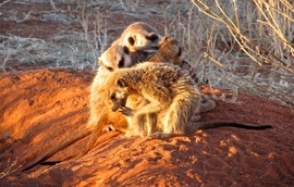 Grid tswalumeerkats at bedtime 0113