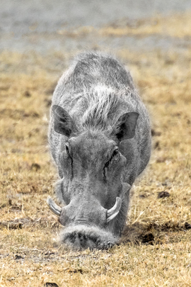 warthog, warthog photos, warthogs in Africa, warthogs in Tanzania, warthogs in the Serengeti, Serengeti wildlife, Tanzania wildlife, Serengeti National Park
