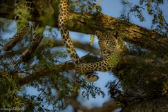 leopard, leopard photos, leopard images, Kenya wildlife, Kenya wildlife photos, Kenya safari, Kenya safari photos, african safari photos, african cats, leopards in africa, leopards in Kenya, Porini Lion Camp, Maasai Mara, Maasai Mara wildlife
