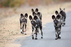 wild dog, african wild dog, wild dog pack, photos of wild dogs, wild dog photos, South Africa wildlife, wild dogs in South Africa, South Africa photos, South Africa safari, South Africa safari photos, Kruger National Park, Kruger wildlife