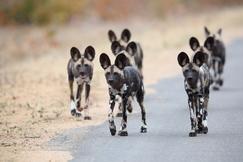 wild dog, african wild dog, wild dog pack, photos of wild dogs, wild dog photos, South Africa wildlife, wild dogs in South Africa, South Africa photos, South Africa safari, South Africa safari photos, Kruger National Park, Kruger wildlife