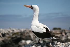 Nazca, Galapagos Islands, Nazca booby, Galapagos photography, Galapagos images, Galapagos pictures, Galapagos wildlife