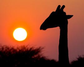 giraffe, giraffe photos, giraffe images, Botswana wildlife, Botswana wildlife photos, african safari photos, giraffes in Botswana, sunrise in botswana, Linyanti preserve, wildlife in Linyanti preserve