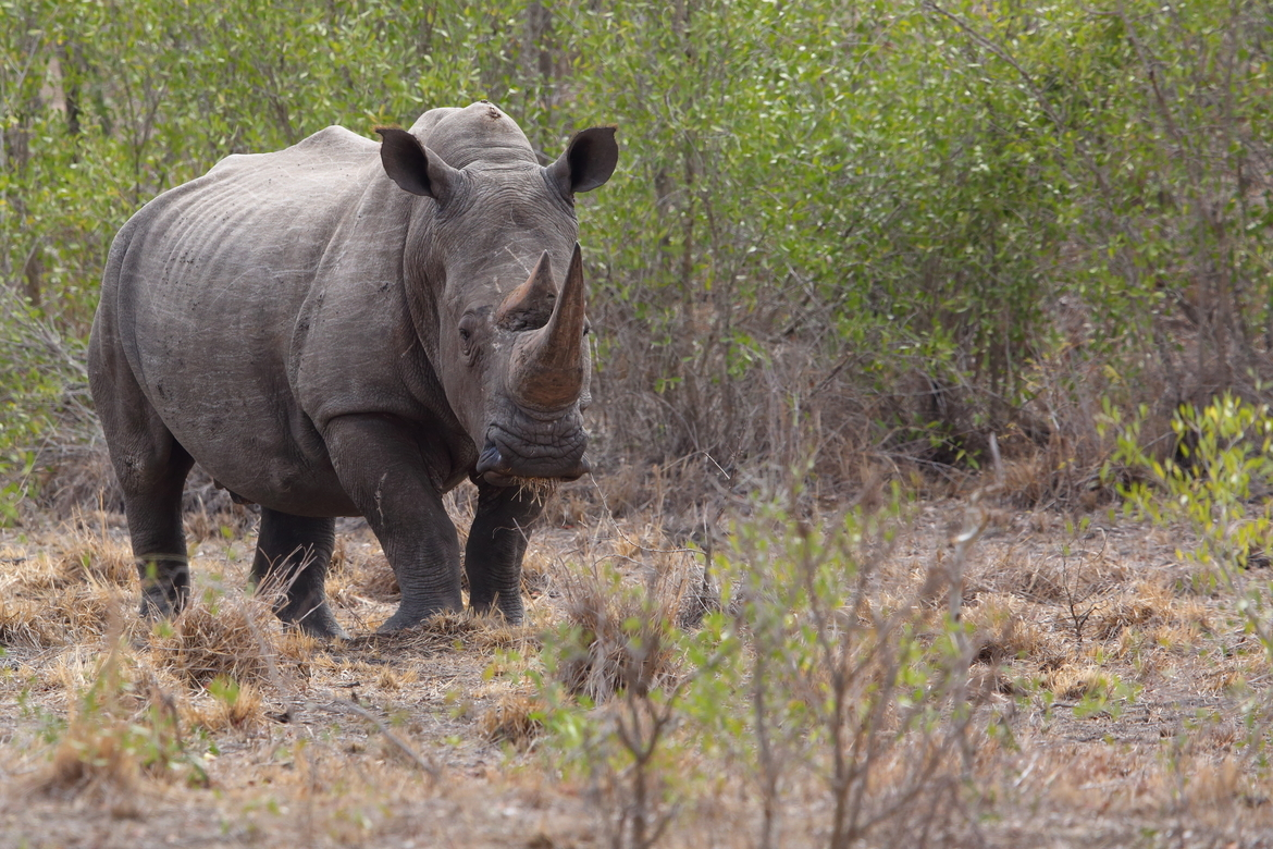 black rhino, black rhino photos, rhinoceros, black rhinoceros, African rhino, African safari, African wildlife, South Africa, South Africa wildlife, South Africa rhinos, Kruger National Park, Kruger wildlife