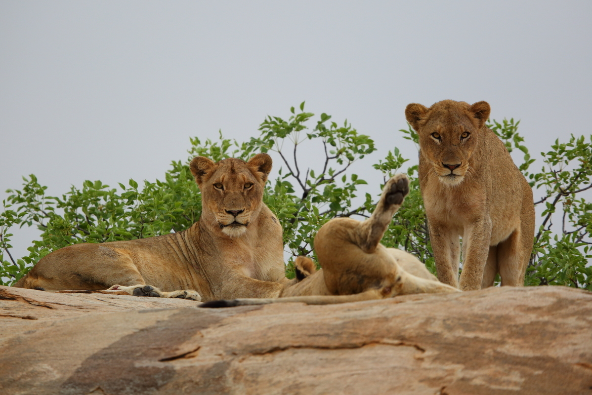 lion, lion photos, south africa, south africa wildlife, lions in South Africa, Kruger National Park