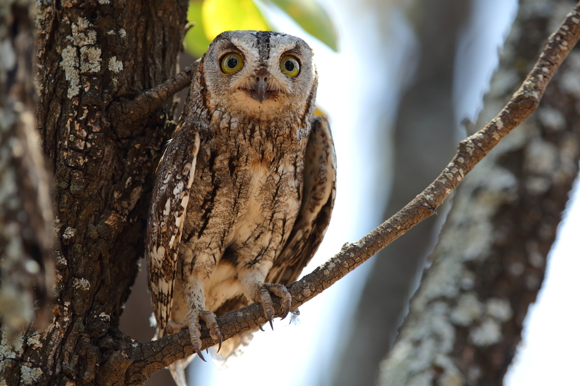scops owl, scops owl photos, owls, owls in Africa, owls in South Africa, South african birding, birding in South Africa, Kruger National Park wildlife, birding in Kruger, bird photography, owl photography