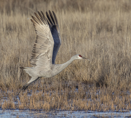 sandhill crane, sandhill crane photos, birding in New Mexico, Bosque del Apache, wildlife in New Mexico, New Mexico wildlife, birding in the US, wildlife in the US, birds in New Mexico, birds in the US