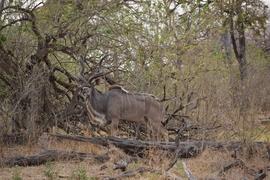 Grid camouflagedkudu linyanti