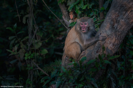 macaque, macaque images, macaque photos, India wildlife, India wildlife images, India wildlife photos, Kaziranga , Kaziranga  wildlife, macaques in India, India wildlife photography