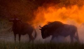 wildebeest, wildebeest photos, wildebeest migration, Botswana migration, Botswana wildlife, Africa migration, Okavango Delta, Okavango Delta wildlife