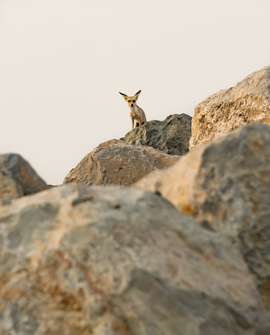 arabian red fox, arabian red fox photos, United Arab Emirates, UAE wildlife, urban foxes, desert foxes