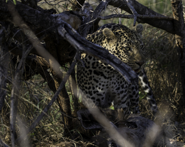 leopard, leopard photos, leopard images, south africa wildlife, south africa wildlife photos, south africa safari, south africa safari photos, african safari photos, african cats, leopards in africa, leopards in south africa, MalaMala