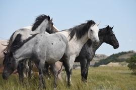 horse, horse photos, US wildlife, US wildlife photos, Theodore Roosevelt National Park, wild horses in Roosevelt National Park, feral horses