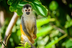 red-back squirrel monkey, red-back squirrel monkey photos, wildlife in Costa Rica, Costa Rica wildlife, monkeys in Costa Rica, primates in Costa Rica, Saimiri oerstedii, Manuel Antonio National Park