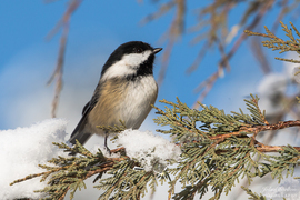 Black-Capped Chickadee, Black-Capped Chickadee photos, Washington birds, birding in Washington, birding in the US, US birds, US birding