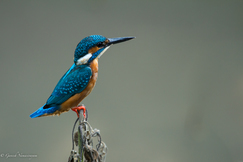 kingfisher, kingfisher photos, common kingfisher, common kingfisher photos, India birds, India wildlife, Pondicherry