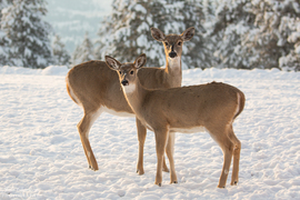 deer, deer photos, deer images, doe, doe photos, fawn photos, united states wildlife, Washington wildlife