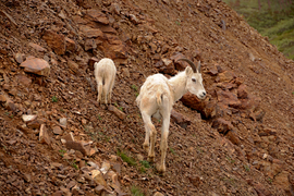 Grid dall sheep   alaska