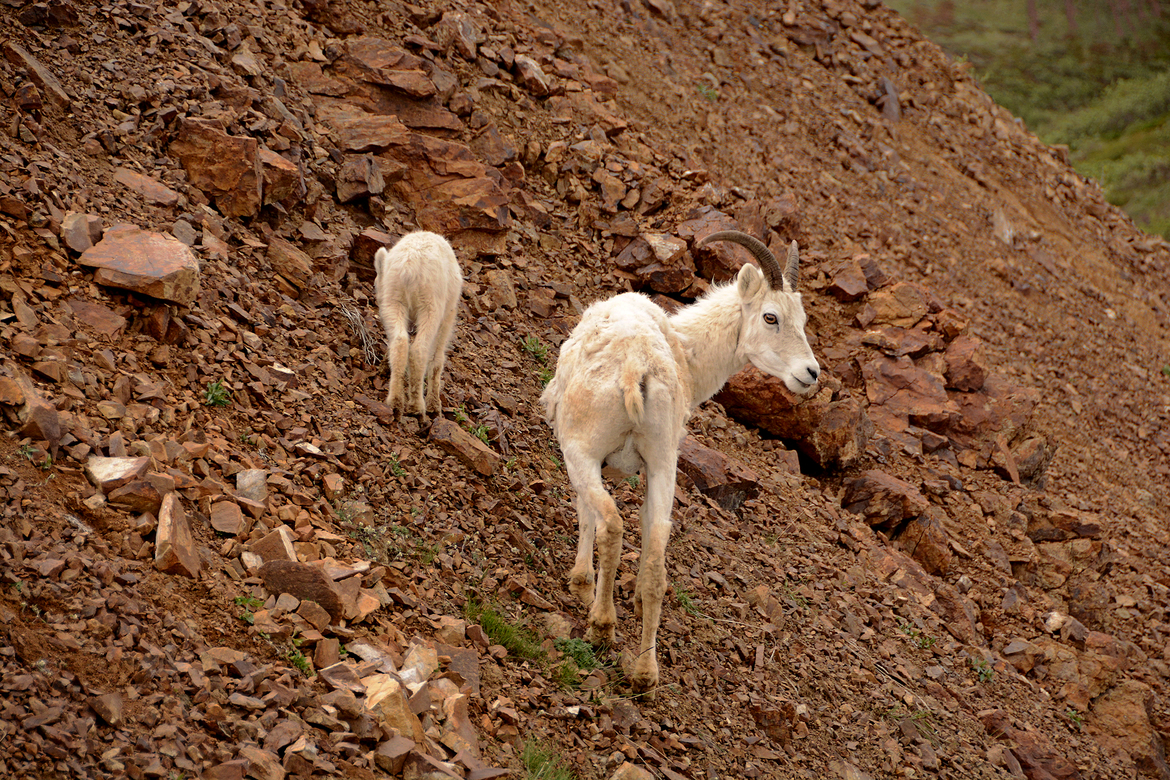 dall sheep, ram, dall sheep photos, dall sheep pictures, ram photos, ram images, Denali National Park wildlife, Denali National Park photos, Denali National Park wildlife photos