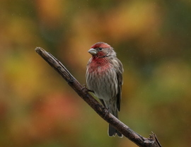 house finch, house finch photos, finch, finch photos, finches, US birding, north carolina birding, birds in north carolina