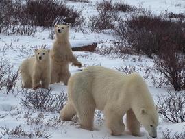 polar bear, polar bear in churchill, polar bear cub, cub photos, polar bear in canada, canada wildlife, canada polar bears, canada wildlife images, polar bear images, canada wildlife photos, polar bear photos, churchill wildlife, churchill wildlife photos