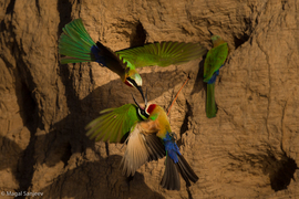 bee eater, bee eater photos, South Africa birds, South Africa wildlife, South Africa bee eater, africa birds, africa bee eater, africa wildlife, South Luangwa River, South Luangwa River wildlife, South Luangwa River birds