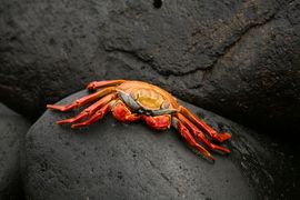 sally lightfoot crab, galapagos islands, ecuador, galapagos wildlife