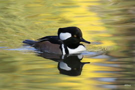 Hooded Merganser, Hooded Merganser photos, Hooded Merganser duck, birding in North Carolina, North Carolina wildlife, North Carolina birding