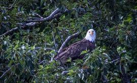bald eagle, bald eagle photos, bald eagle images, united states wildlife, american wildlife photos, american birds, birds in the united states, national bird of united states, Alaska wildlife, birding in Alaska, Katmai, Katmai wildlife, birds in Katmai