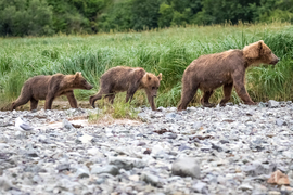 brown bear, grizzly bear, brown bear photos, grizzly bear images, grizzly cub, brown bear cub, Katmai National Park, Katmai National Park wildlife, united states wildlife photos, Alaska wildlife, Alaska bears, Alaska photos