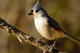 tufted titmouse, tufted titmouse photos, birding in the US, Kentucky birds, birding in Kentucky