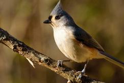 tufted titmouse, tufted titmouse photos, birding in the US, Kentucky birds, birding in Kentucky
