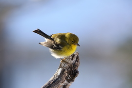 Pine Warbler, Pine Warbler photos, birding in North Carolina, North Carolina birds