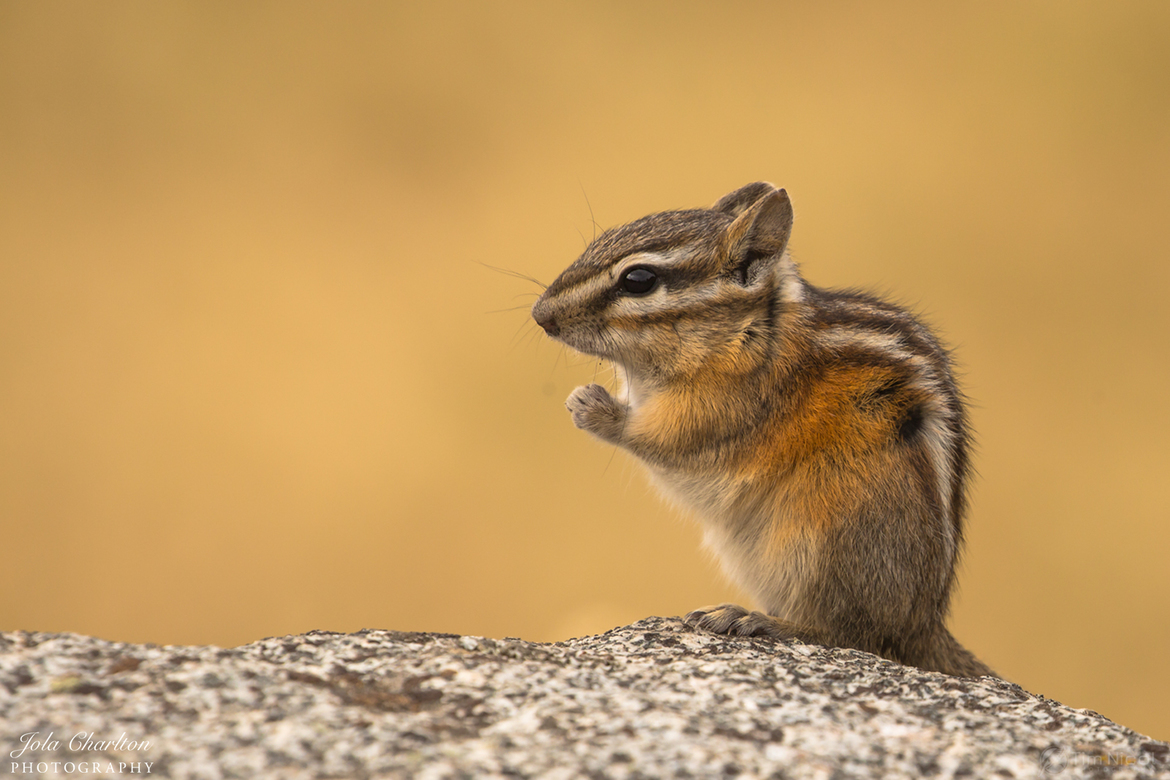 chipmunk, chipmunk photos, Washington wildlife, rodents in Washington