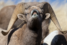 bighorn sheep, Rocky Mountain bighorn sheep, rocky mountain bighorn sheep photos, bighorn sheep photos, bighorn sheep images, Wyoming wildlife, Wyoming wildlife photos