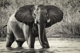 elephant, african elephant, elephant photos, african elephant photos, Botswana wildlife, Botswana wildlife photos, africa wildlife photos, africa wildlife, african safari photos, Okavango wildlife, Okavango Delta wildlife photos, Okavango Delta Region