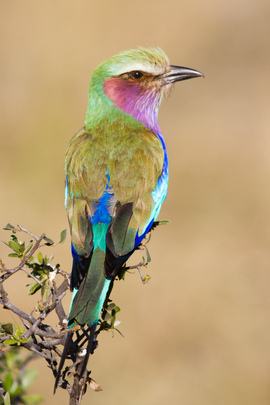 lilac breasted roller, lilac breasted roller photos, lilac breasted roller images, botswana wildlife, botswana wildlife images, botswana wildlife photos, africa wildlife, africa safari, botswana safari, botswana birds, africa birds, linyanti
