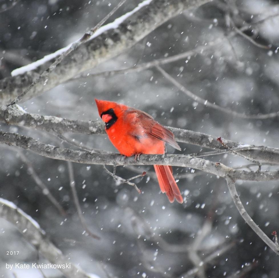 cardinal, cardinal photos, male cardinal, male cardinal photos, New Hampshire wildlife, New Hampshire birds, birding in the US, birding in New Hampshire