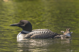common loon, common loon photos, ducks, duck photos, baby ducks, common loon baby, common loon chick, Washington wildlife, Washington birds, birding in Washington, Colville National Forest