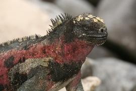 Marine iguana, Galapagos Islands, Galapagos photography, Isabela, Fernandina